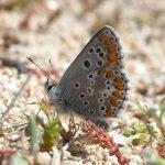 Zeldzame vlinders in Portugal