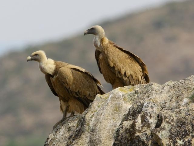 vale gieren op rots worden beschermd