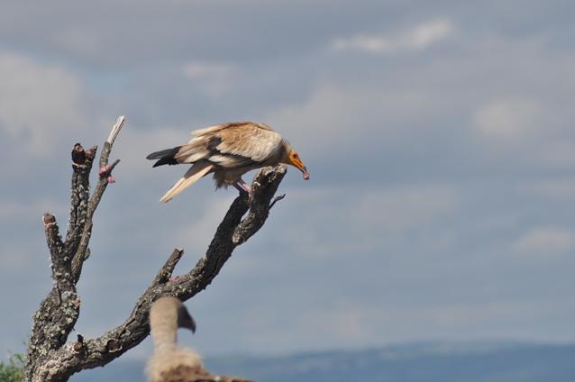 2 aasgier neemt vlees mee naar nest